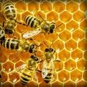 Včelí jed